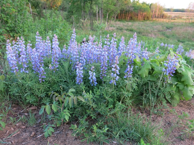 Lupine is not a weed!