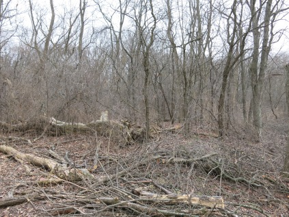 "Buckthorn thicket ""before"""