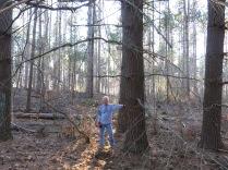 massive white pines