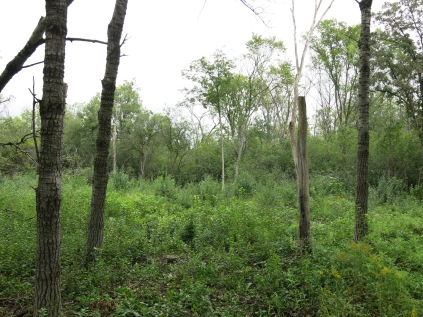 Areas like this will revert to buckthorn jungles before you know it.