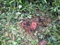Poison on a freshly recut stump.