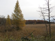 clearing buckthorn from these Tamarack groves.