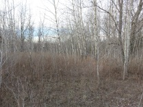 There are a lot of Aspen clonal colonies