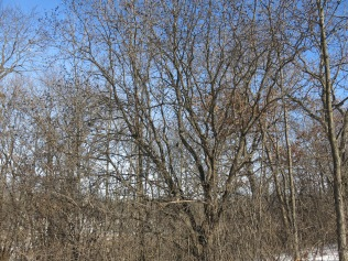 A huge buckthorn
