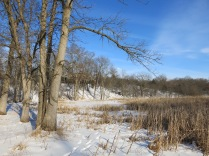 """Contrast the cleared area on the left with the wall of buckthorn in the """"conservancy"""""""