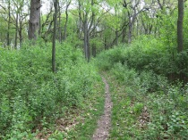 A dense thicket of buckthorn on either side of the trail.