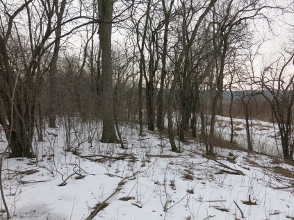 We are clearing out a strip of buckthorn along the left side of the trail.