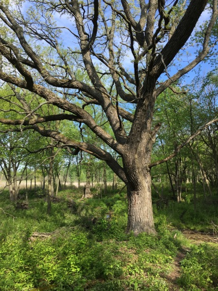 "The ""Big Tree"" at the Ottawa Lake Fen SNA"