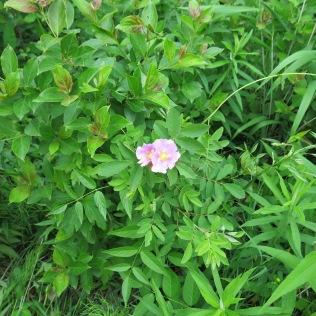 Native Rose