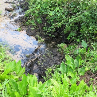 Roundleak monkeyflower transplants in the rich black soil