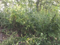 Buckthorn at Hartland Marsh